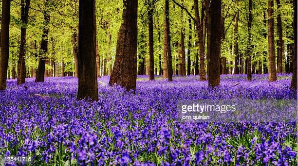 bluebell woods in ashridge forest - bluebell wood stock pictures, royalty-free photos & images
