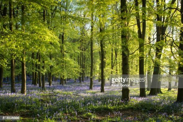 Bluebell woods in morning light