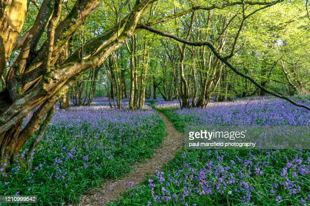 bluebell woods - lush stock pictures, royalty-free photos & images