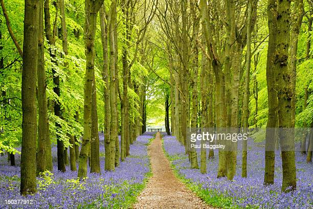bluebell woods - bluebell wood stock pictures, royalty-free photos & images