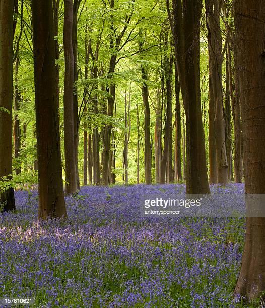 ブルーベルの森