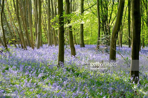 bluebell woods - kent county stock pictures, royalty-free photos & images