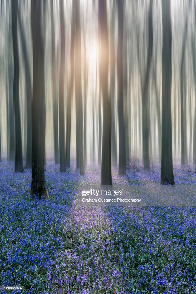 Bluebell Woods : Stock-Foto