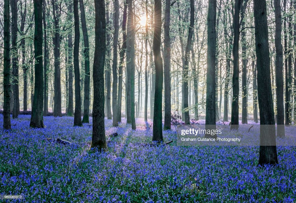 Bluebell Woods : Stock-Foto