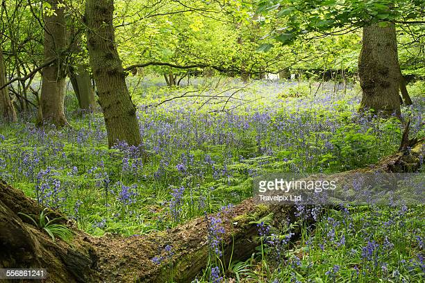 Bluebell Woods, Rutland, UK