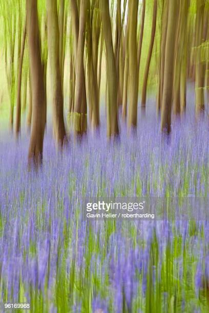 bluebell woods, somerset, england, united kingdom, europe - gavin hellier stock pictures, royalty-free photos & images