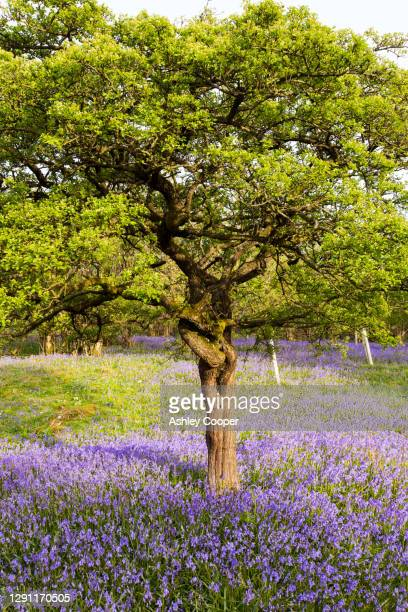 bluebells and a hawthorn tree growing on a limestone hill in the yorkshire dales national park, uk. - limestone pavement stock pictures, royalty-free photos & images
