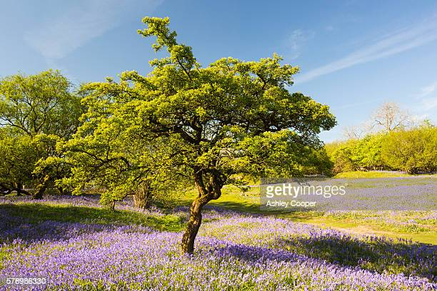 bluebells and a hawthorn tree growing on a limestone hill in the yorkshire dales national park, uk. - hawthorn,_victoria stock pictures, royalty-free photos & images