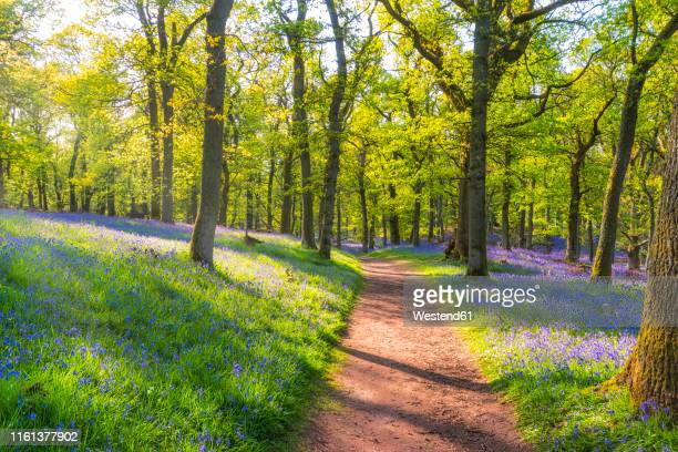 bluebells and empty forest track, perth, scotland - perth scotland stock pictures, royalty-free photos & images