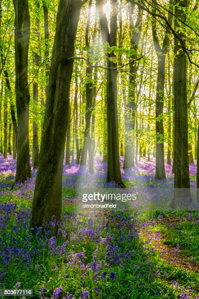 bluebells and sunbeams in an english beechwood - vertical stock pictures, royalty-free photos & images