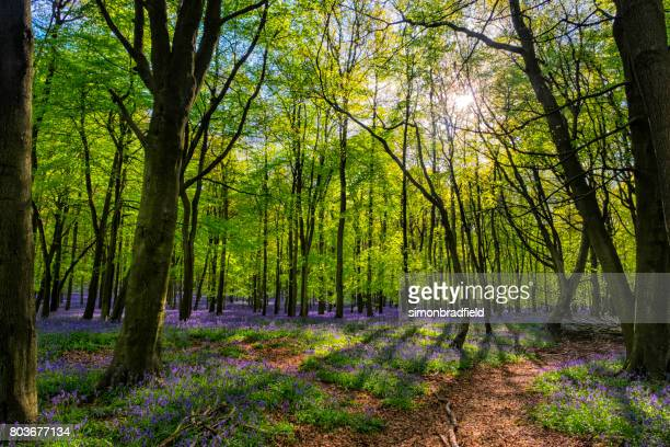 Bluebells And Sunbeams In An English Beechwood
