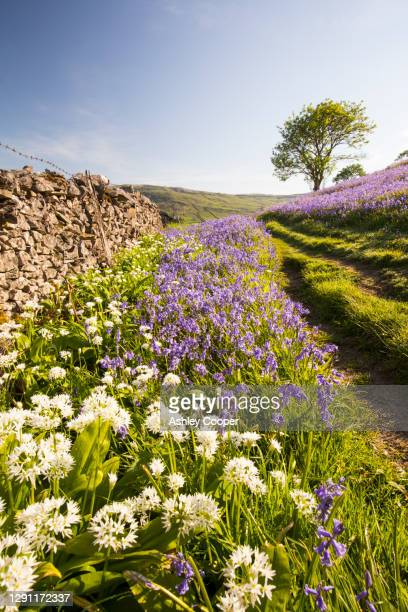bluebells and wild garlic growing on a limestone hill in austwick in the yorkshire dales national park, uk. - limestone pavement stock pictures, royalty-free photos & images