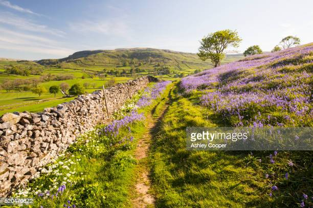 bluebells and wild garlic growing on a limestone hill in the yorkshire dales national park, uk. - bluebell stock pictures, royalty-free photos & images