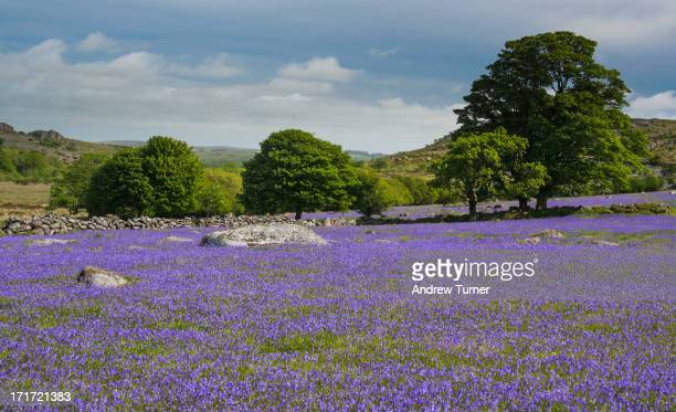 CONTENT] Bluebells are normally found in deciduous woodland and flower in May Here at Emsworthy however the woodland disappeared hundreds of years...
