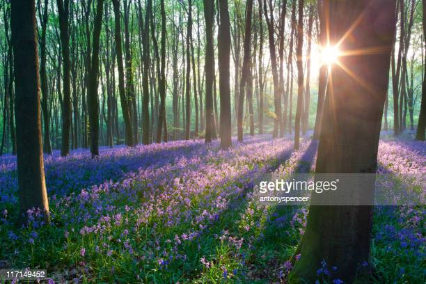 bluebells at sunrise - woodland stock pictures, royalty-free photos & images