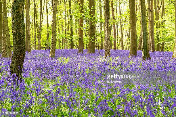 bluebells, austy wood, warwickshire, uk - bluebell wood stock pictures, royalty-free photos & images