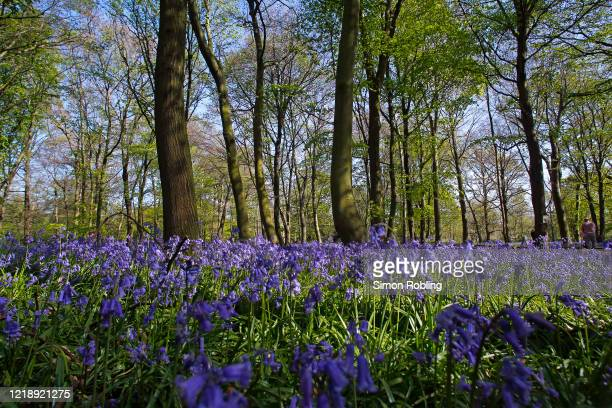 Bluebells begin to bloom in Chalet Wood Epping Forest on April 14 2020 in London England Native English bluebells are a protected species flowering...