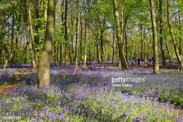 Bluebells begin to bloom in Chalet Wood, Epping Forest on April 14, 2020 in London, England. Native English bluebells are a protected species...