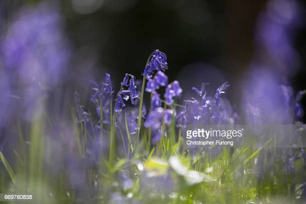 Bluebells begin to bloom in Merrions Wood on April 18, 2017 in Walsall, United Kingdom. The UK accounts for half of the world's bluebell population...