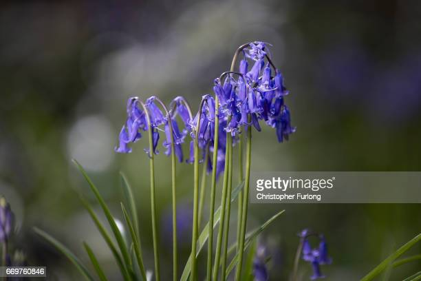 Bluebells begin to bloom in Merrions Wood on April 18 2017 in Walsall United Kingdom The UK accounts for half of the world's bluebell population and...