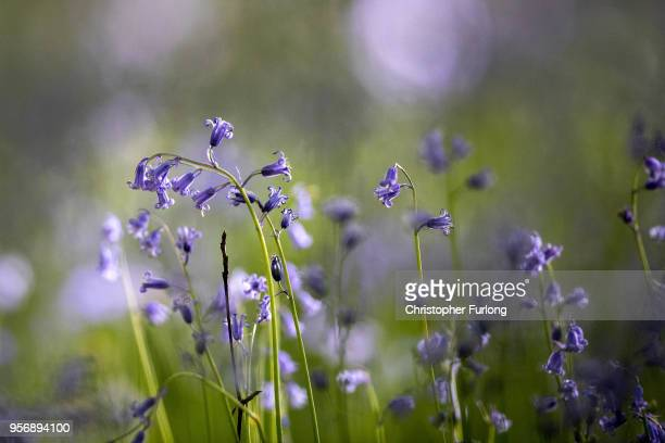 Bluebells bloom in a wood in the Cheshire countryside on April 24 2015 in Knutsford England The UK accounts for half of the world's bluebell...
