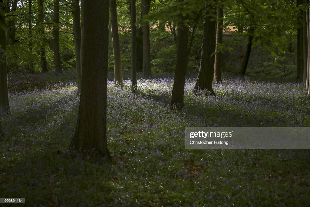 Bluebells In Bloom In Knutsford : News Photo