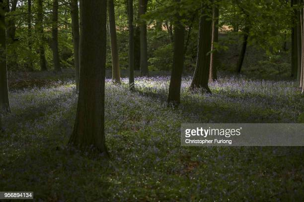 Bluebells bloom in a wood in the Cheshire countryside on April 24, 2015 in Knutsford, England. The UK accounts for half of the world's bluebell...
