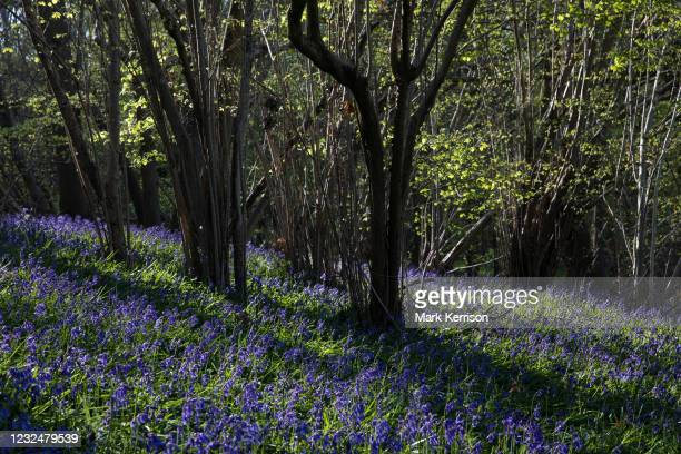 Bluebells bloom in early morning sunlight in Sulham Woods on 23rd April 2021 in Sulham, United Kingdom. The UK is home to over half of the worlds...