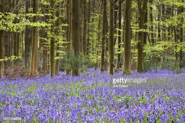 Bluebells bloom in King's Wood near Great Missenden on May 07, 2021 in Great Missenden, England. HS2 protesters continue to occupy key infrastructure...