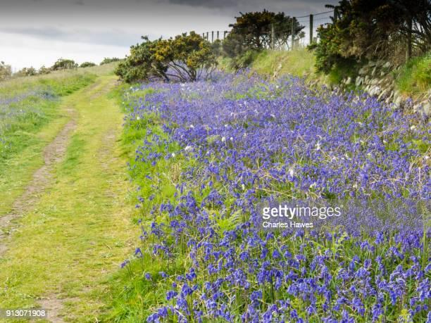 Bluebells by the path near Abersoch:Wales Coast Path on the Llyn (Lleyn) peninsula