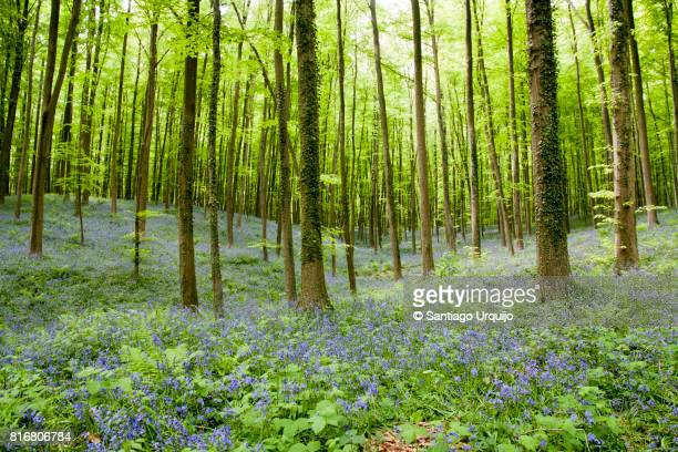 Bluebells carpet in beech forest