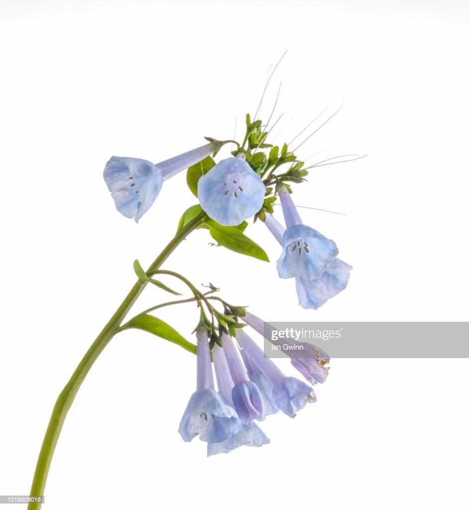 Bluebells Close-up_1 : Stock Photo