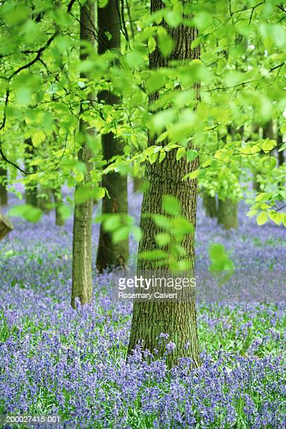 Bluebells (Hyacinthoides non-scripta) growing in beech forest