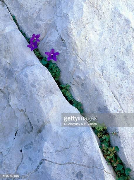 Bluebells Growing in Rock Crack