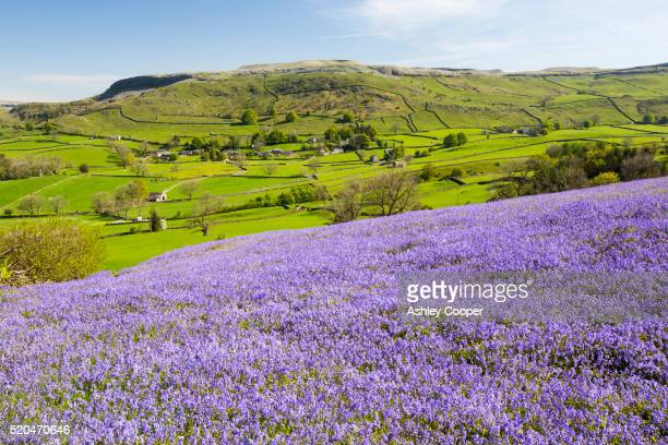 bluebells growing on a limestone hill in the yorkshire dales national park, uk. - bluebell stock pictures, royalty-free photos & images