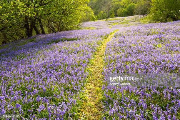 bluebells growing on a limestone hill in the yorkshire dales national park, uk. - limestone pavement stock pictures, royalty-free photos & images