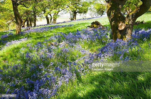 Bluebells, Hyacinthoides non-scripta, flowering in deciduous woodland on Martinsell Hill, Pewsey, Wiltshire England.