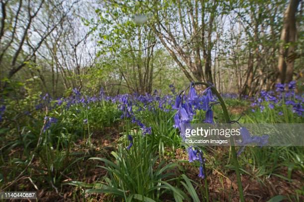 Bluebells, Hyacinthoides non-scripta, Foxley Wood NNR & Norfolk Wildlife Trust Reserve, Norfolk.