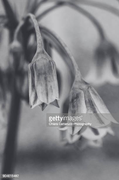Bluebells in a B/W garden