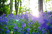 Bluebells in a nature forest photographed as background with copy space