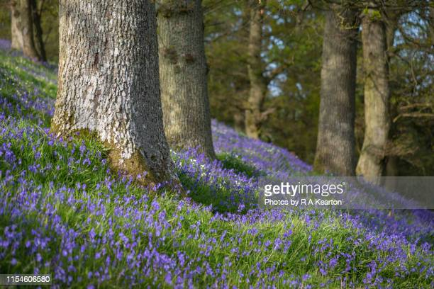 bluebells in a shropshire woodland, england - april stock pictures, royalty-free photos & images
