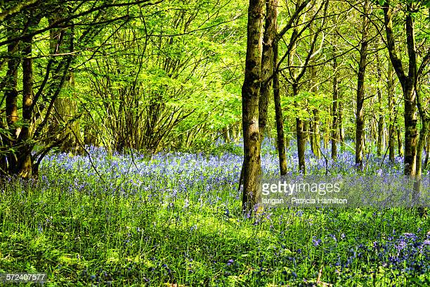 Bluebells in Agmonds wood at Spithurst