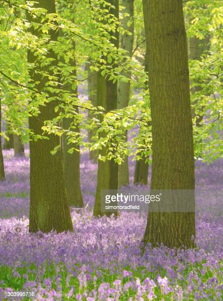 bluebells in an english beechwood - 2015 stock pictures, royalty-free photos & images