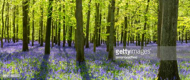 Bluebells In An English Beechwood
