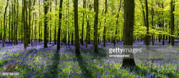 bluebells in an english beechwood - bluebell wood stock pictures, royalty-free photos & images