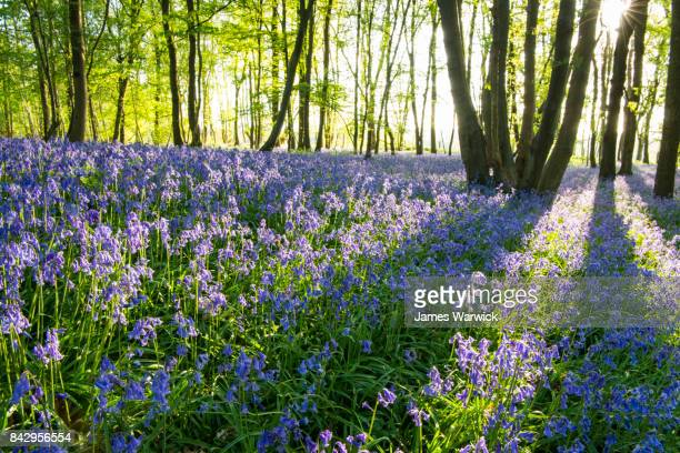 bluebells in beech woods at dawn - bluebell wood stock pictures, royalty-free photos & images