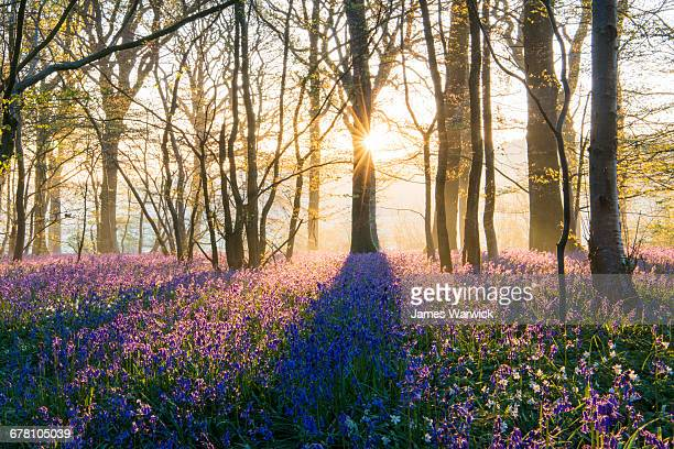 bluebells in mixed woodland at sunrise - idyllic stock pictures, royalty-free photos & images