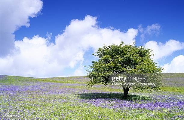 bluebells (hyacinthoides non-scripta) in open pasture, spring, halwell lawn, dartmoor, devon, uk - bluebell stock pictures, royalty-free photos & images