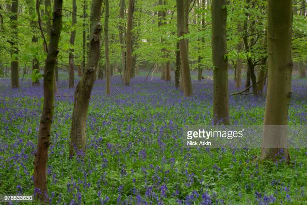 Bluebells In Oxey Wood