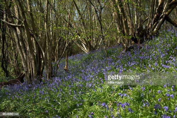 Bluebells in spring woodland near Underriver England United Kingdom Bluebells or H nonscripta is particularly associated with ancient woodland where...